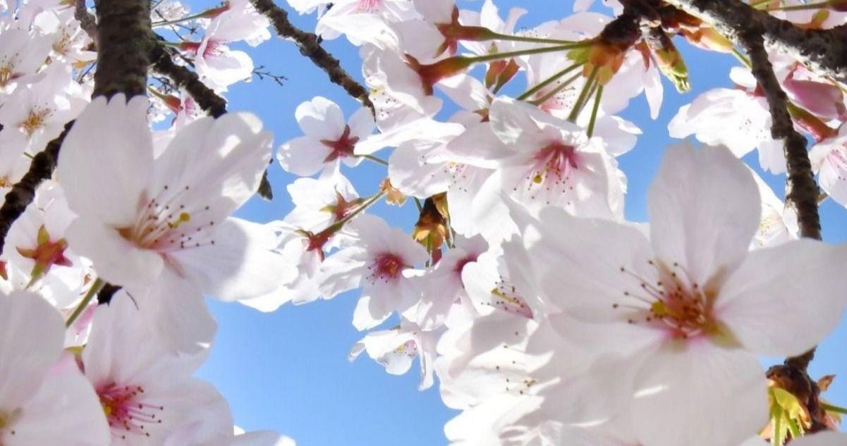 新型コロナの春・・・ 桜は今年もきれいに咲きました | ニュース ...