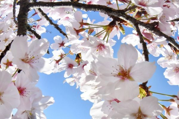 新型コロナの春・・・ 桜は今年もきれいに咲きました | ニュース | 福岡ふかぼりメディア ささっとー